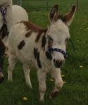 Donkey in Laois